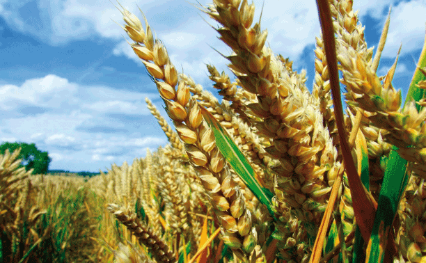 GMwheat