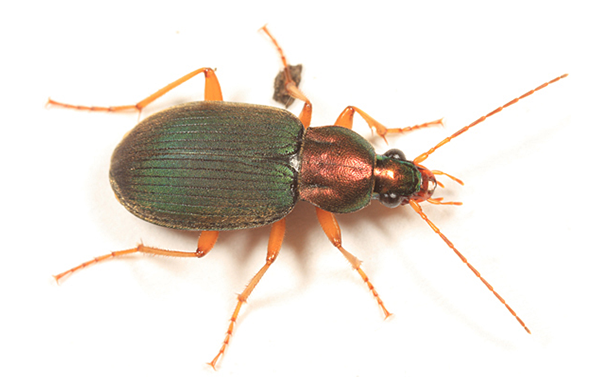 ground beetle - chlaenius tricolor. image: bugguide.net